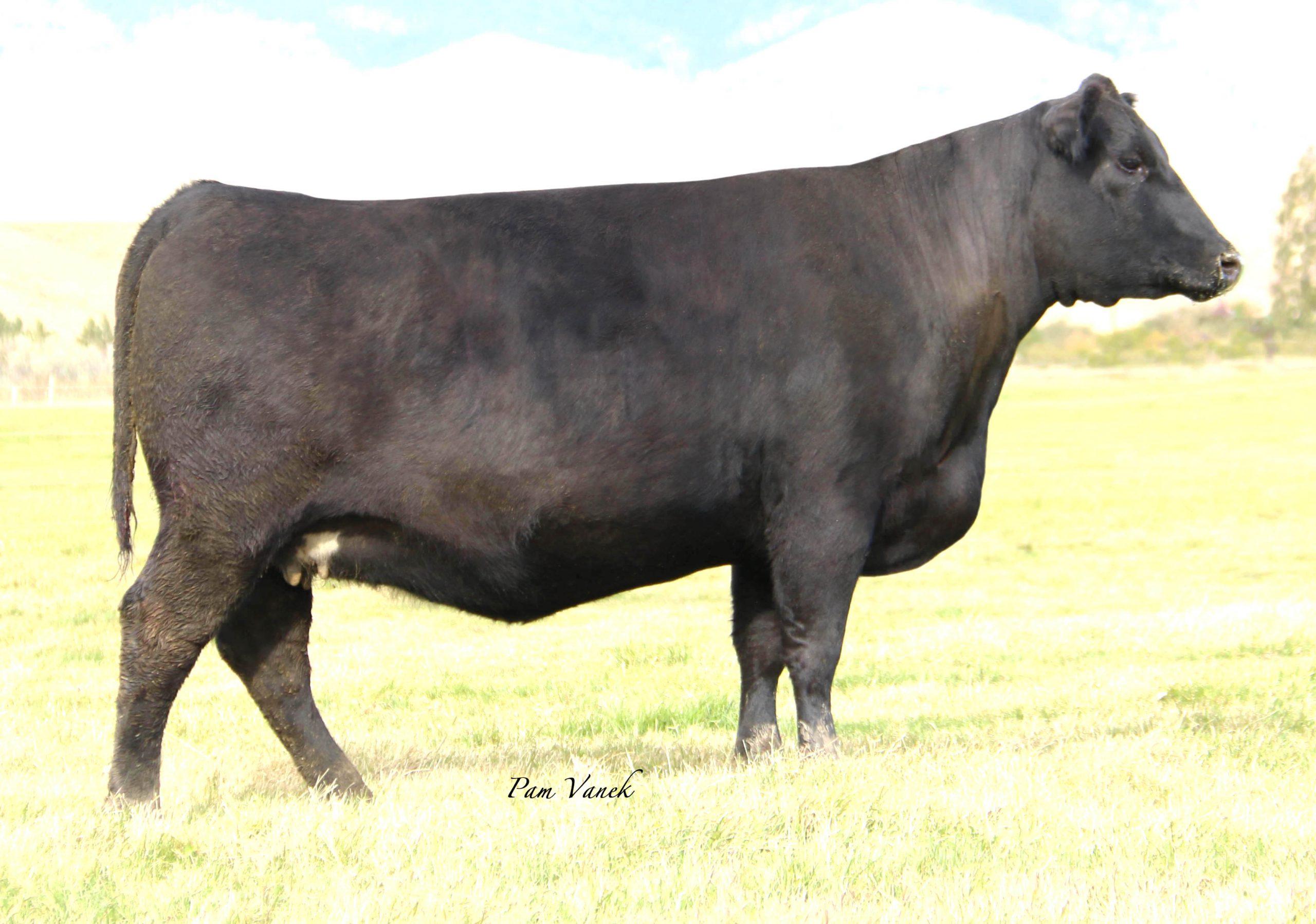 Black Angus Cow SD Lady 4114